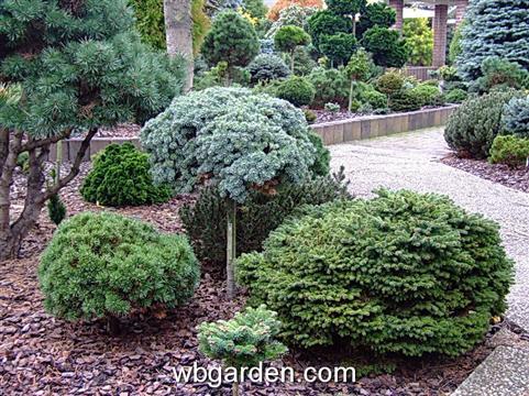 Dwarf conifers 8 jpg